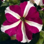 Petunia Ultra Rose Star