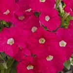 Petunia Picobella Rose