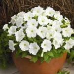 Petunia Picobella White