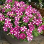 Petunia Picobella Rose Star