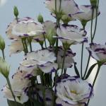 Lisianthus Polar Rim Violet