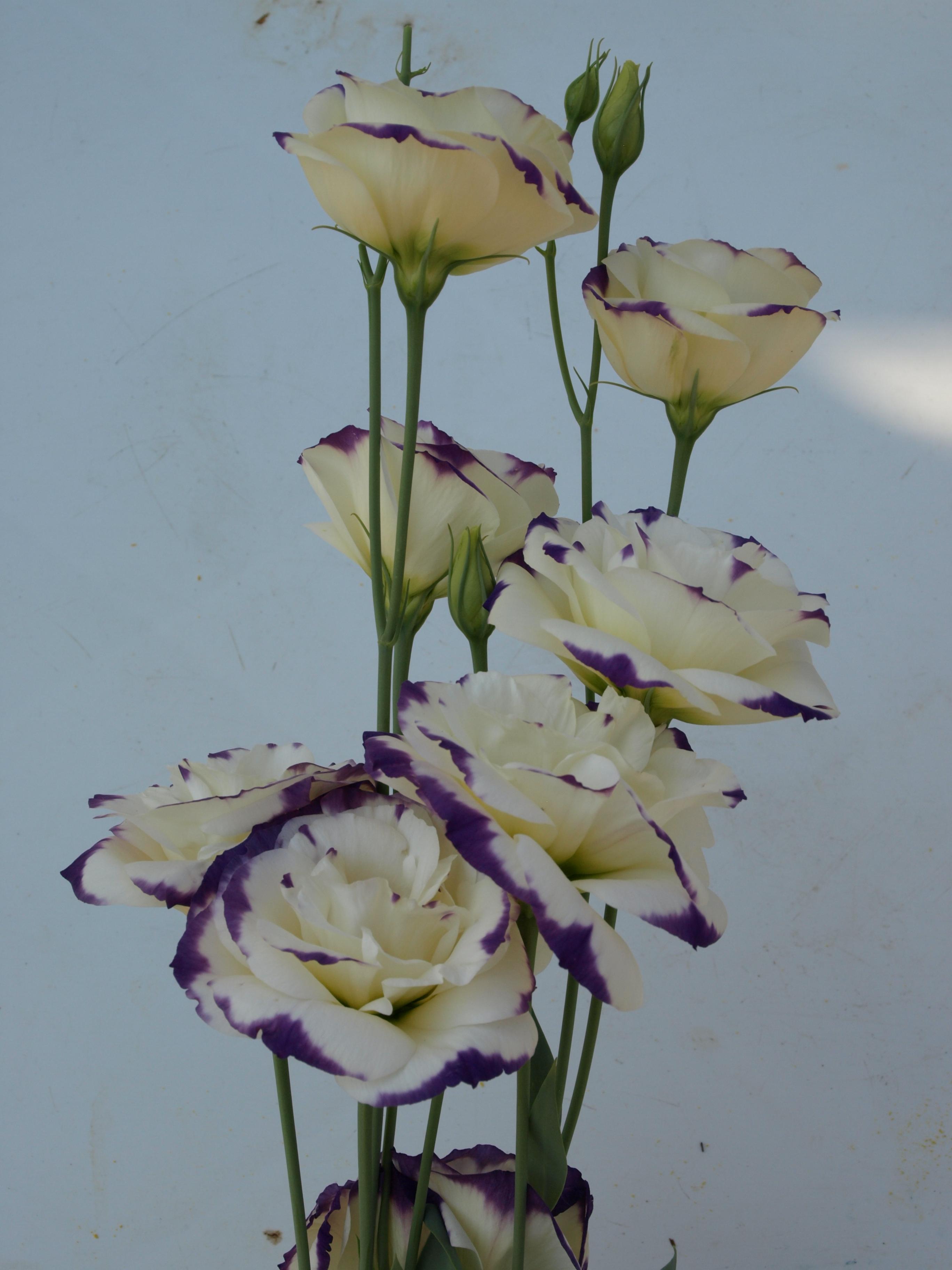 Lisianthus Star Cream Rim Violet