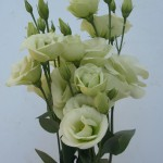 Lisianthus Star Green