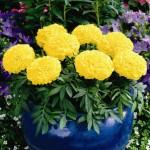 Tagete Antigua Yellow