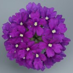 Verbena Temari Violet