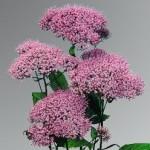 Trachelium Dafne Pink