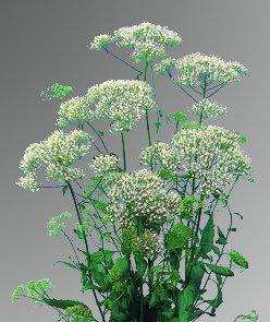 Trachelium Helios White