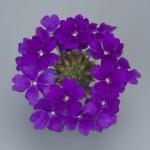 Verbena Temari Blue Violet