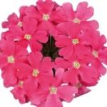 Verbena Temari Coral Pink