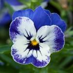 Pansè Sorbet Delft Blue