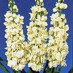 Violacciocca Helene Yellow