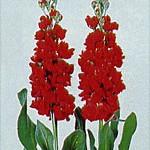 Violacciocca Juanita Red