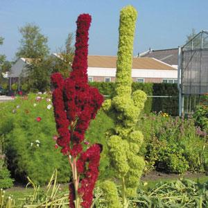 amaranthus tower green red