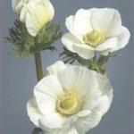 Anemone Galilée Pure White