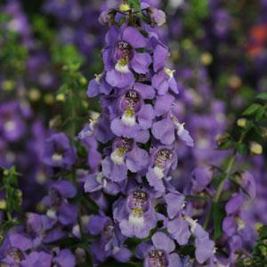 angelonia serena blue