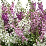 angelonia serena mix