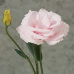 lisianthus arena baby pink 3