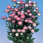 aster serenade rose tipped white
