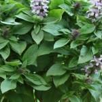 Basilico Floral Spires Lavender