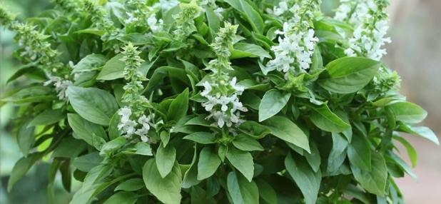 Basilico Floral Spires White
