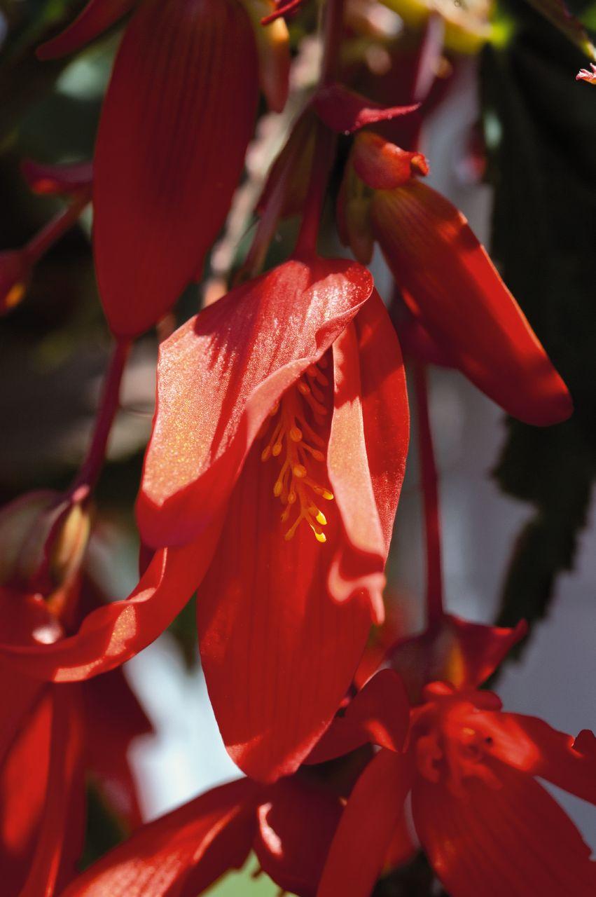 begonia boliviensis santa cruz sunset