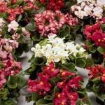 begonia semperflorens ambassador mix