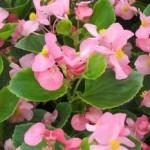 begonia semperflorens ambassador pink
