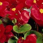 begonia semperflorens ambassador scarlet