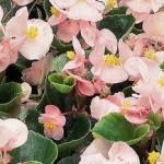 begonia semperflorens ambassador soft pink