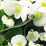 begonia semperflorens ambassador white