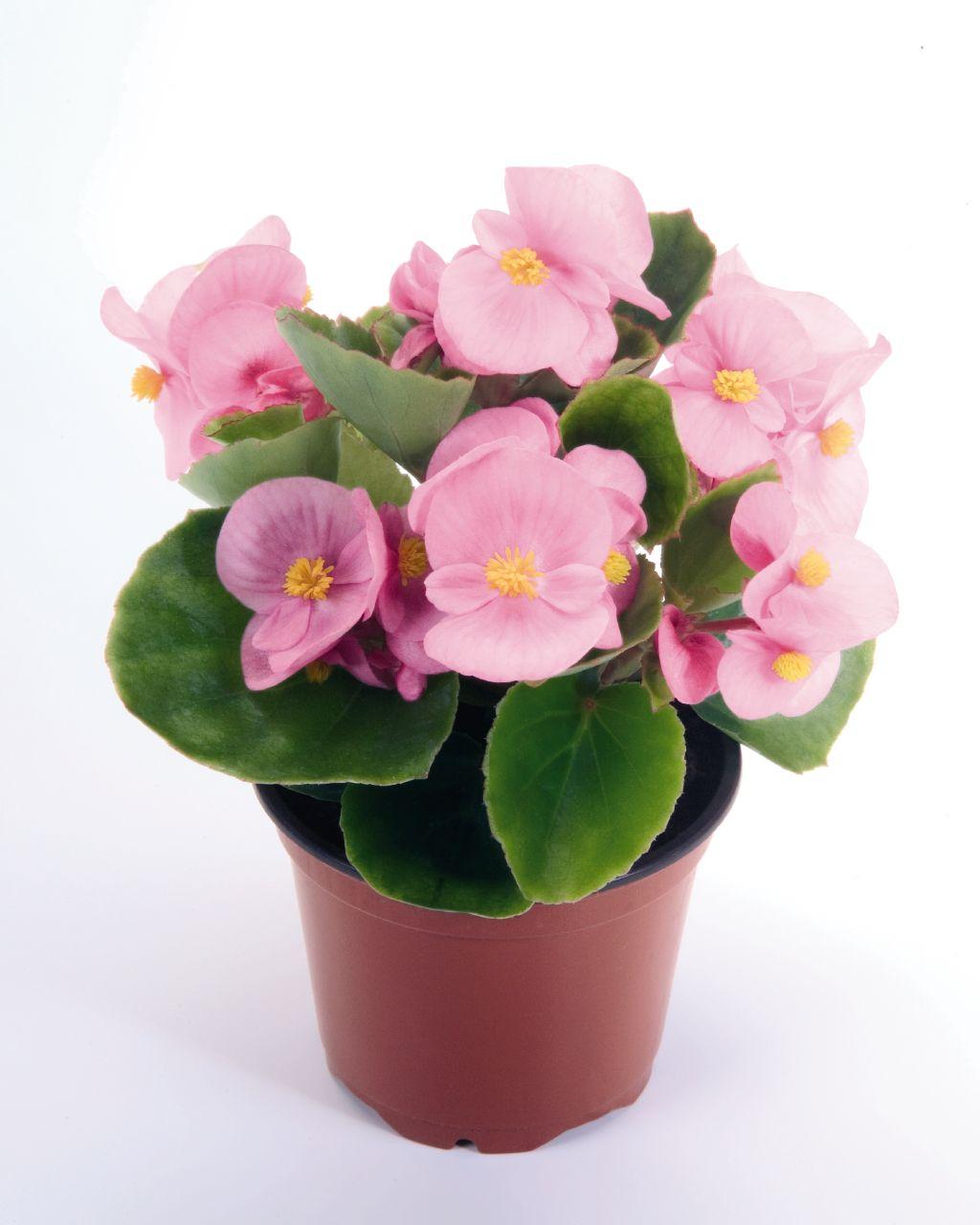 a b r ornamental young plants. Black Bedroom Furniture Sets. Home Design Ideas