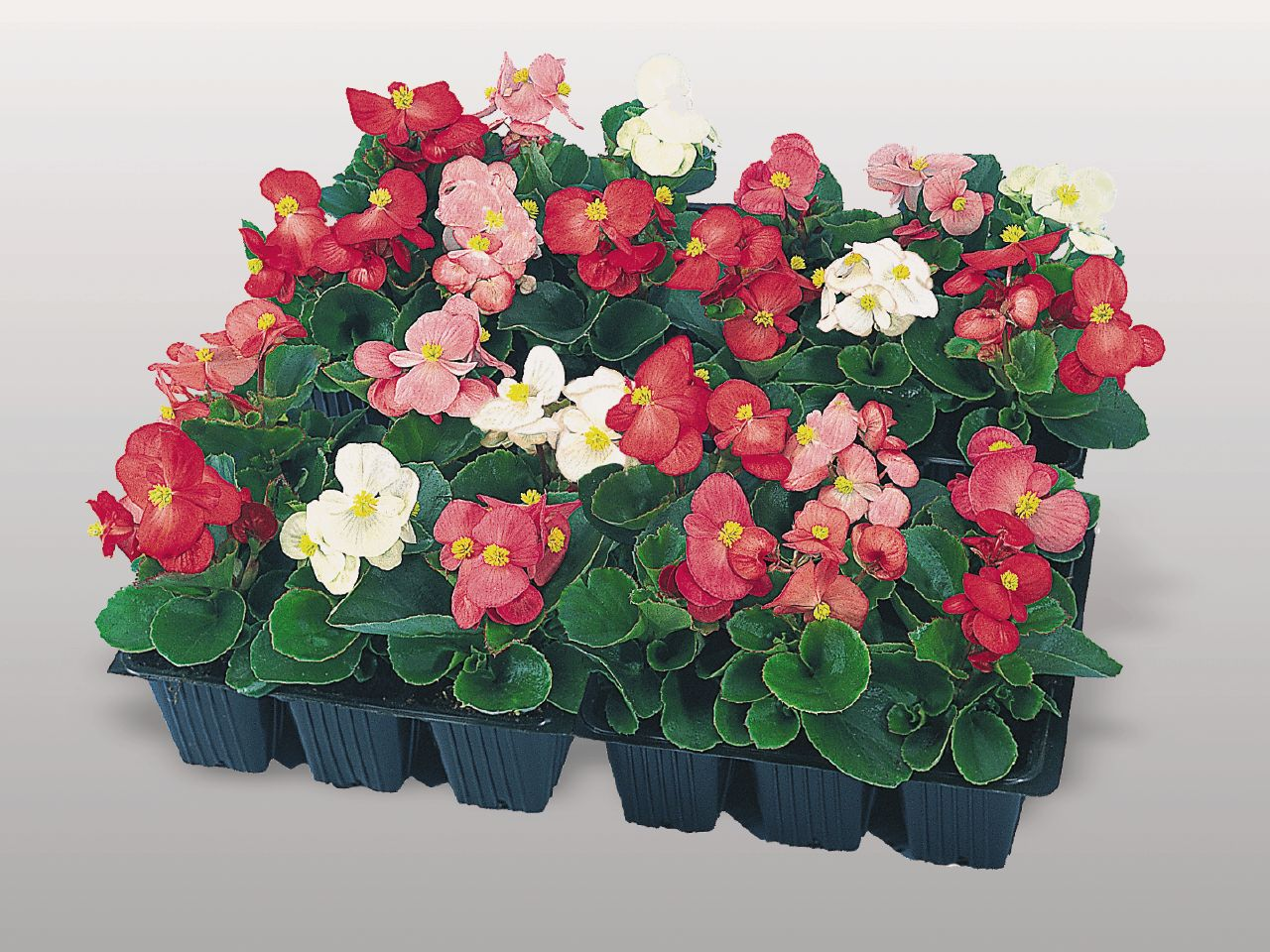 begonia semperflorens super olympia mix