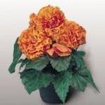 begonia tuberhybrida nonstop apricot