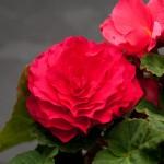 begonia tuberhybrida nonstop deep rose