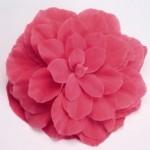 begonia tuberhybrida nonstop pink