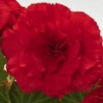 begonia tuberhybrida nonstop red