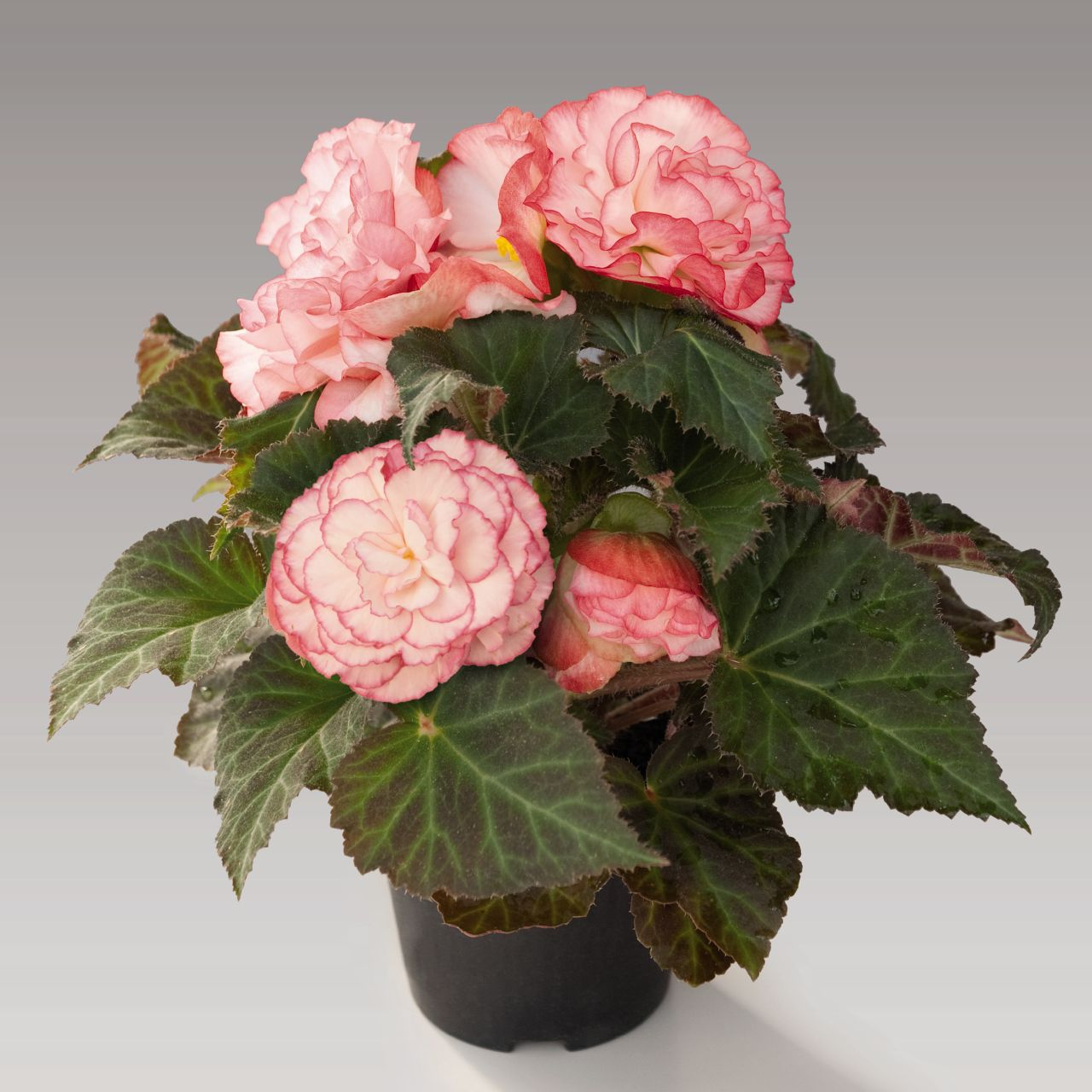 begonia tuberhybrida nonstop rose petticoat improved