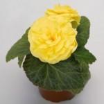 begonia tuberhybrida nonstop yellow