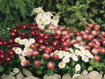 bellis speedstar mix