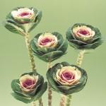 brassica oleracea crane bicolor