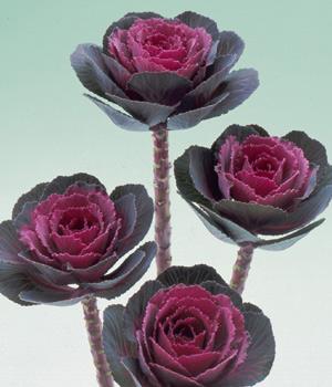 brassica oleracea crane rose