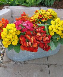calceolaria dainty mix