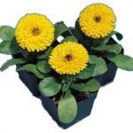 calendula calypso yellow