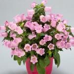 campanula appeal pink