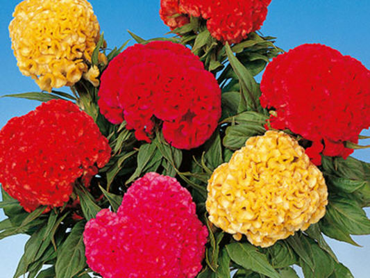celosia-chief-mix