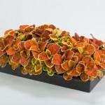 Coleus Fairway  Orange