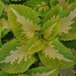 coleus premium shade kong jr green halo