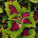 coleus premium shade kong jr rose