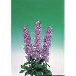 delphinium aurora F1 lavender