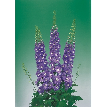 delphinium aurora F1 light purple